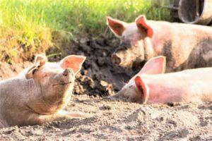 Cerdo » Qué es, características, qué come, hábitat, comportamiento, razas