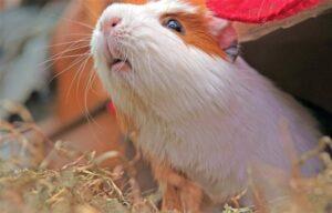 Cuy » Qué es, características, qué come, hábitat, comportamiento, reproducción