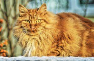 Gato » Qué es, características, comportamiento, qué come, hábitat, beneficios