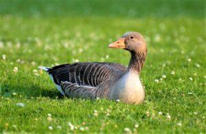 Pato doméstico » Qué es, características, qué come, hábitat, comportamiento, razas