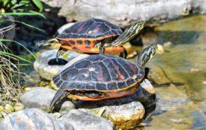 Tortuga de Florida » Qué es, características, qué come, hábitat, comportamiento