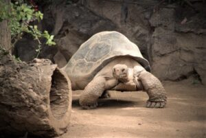 Tortuga de tierra » Qué es, características, qué come, hábitat, comportamiento