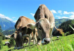 Vaca » Qué es, características, qué come, hábitat, comportamiento, razas