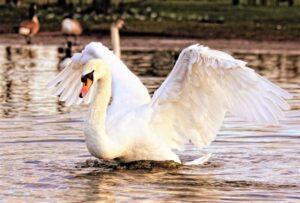 Cisne » Qué es, características, tipos, qué come, hábitat, reproducción