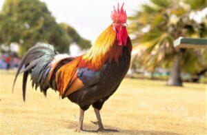 Gallo » Qué es, características, razas, qué come, hábitat, reproducción