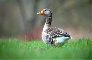 Pato » Qué es, características, razas, hábitat, qué come, reproducción