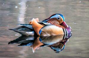 Pato mandarín » Qué es, características, qué come, hábitat, reproducción