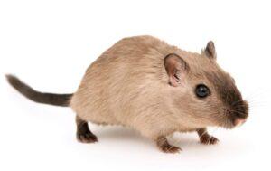 Hámster » Qué es, características, tipos, qué come, hábitat, cuidados