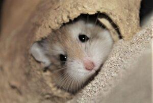 Hámster roborowski » Qué es, características, qué come, hábitat, carácter