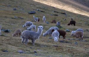 Alpaca » Qué es, características, razas, qué come, hábitat, reproducción