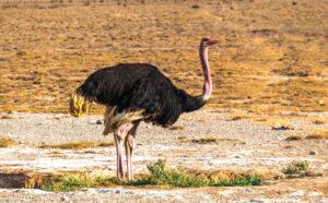 Avestruz » Qué es, características, tipos, qué come, hábitat, reproducción