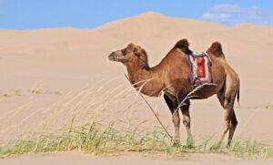 Camello » Qué es, características, razas, qué come, hábitat, reproducción