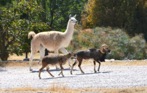 Llama » Qué es, características, qué come, hábitat, razas, reproducción